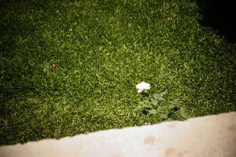 A singularidade de uma rosa branca. Foto Cecilia Liz
