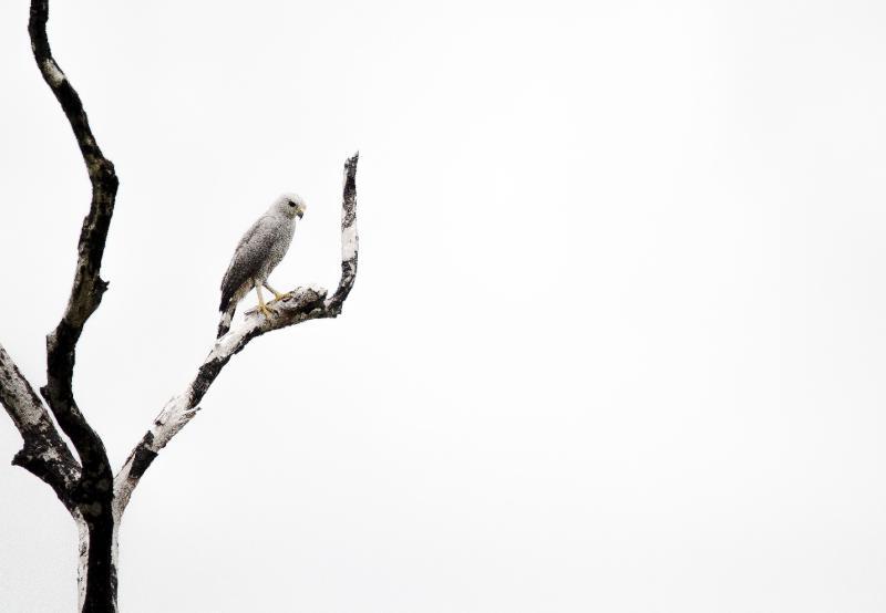 Figura 4: Ave de rapina (família Falconidae) fotografada na região de Careiro/AM.